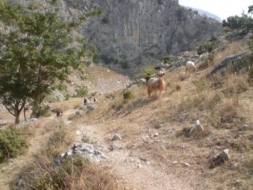 Agresszív kecskék